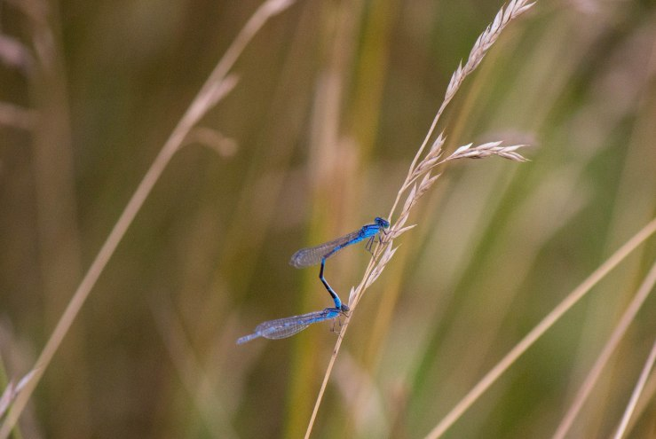 double dragonfly