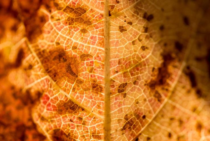 orange-red leaf