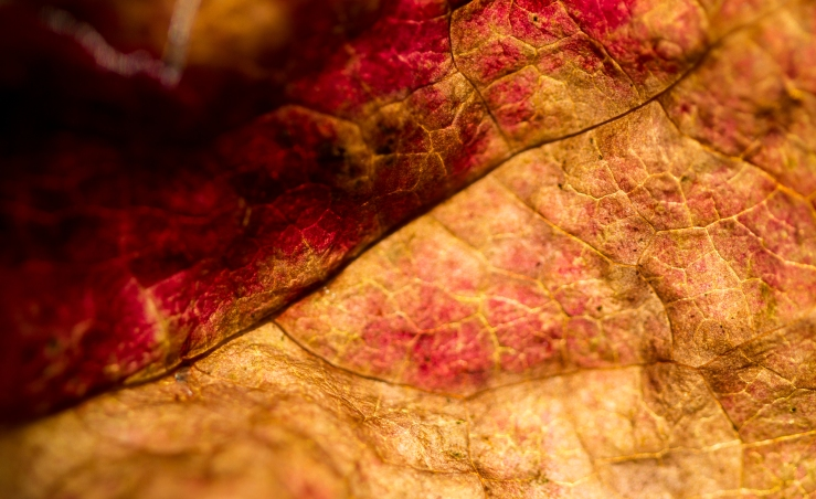 red & tan leaf