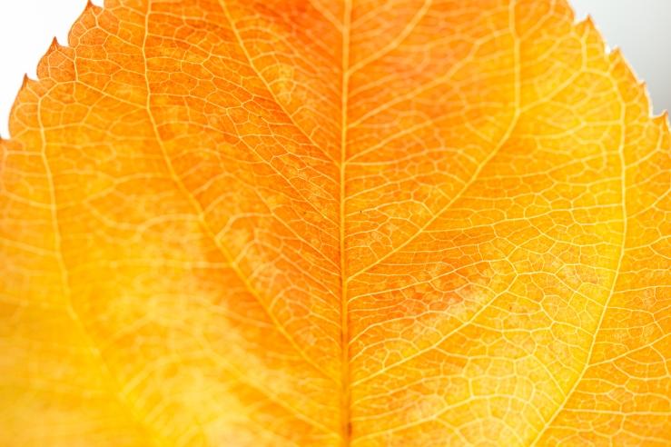 very orange straight leaf