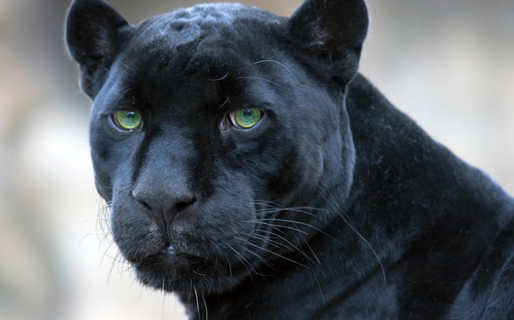 black_panther_spain