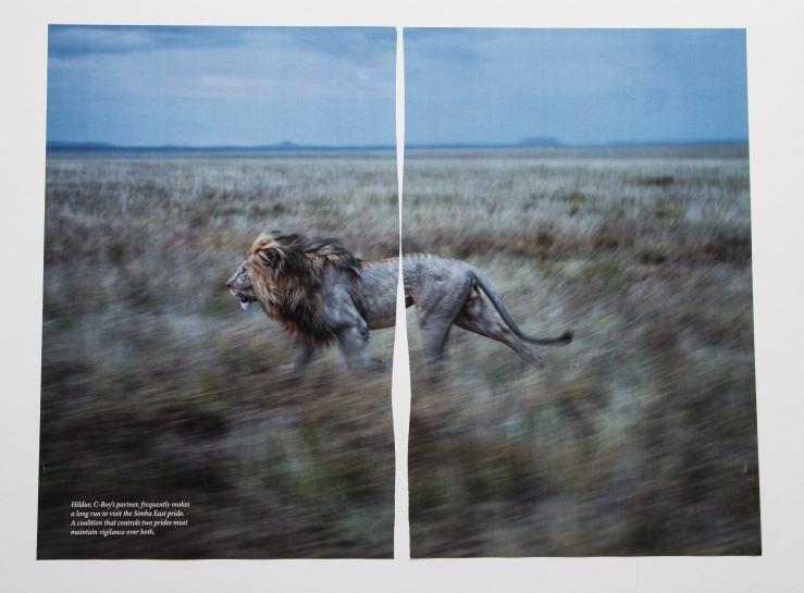 nat geo running lion