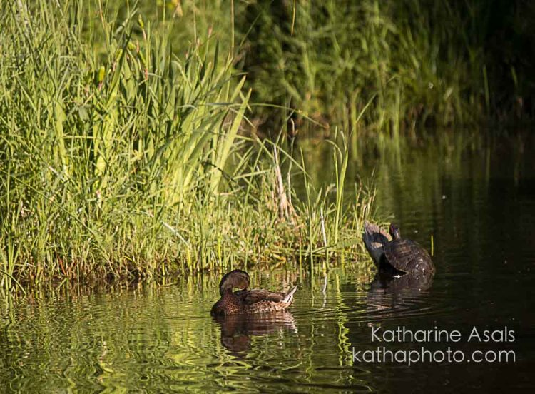 turtle and duck