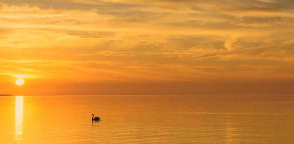 orange sunrise swan wide