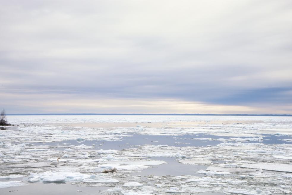 single swan on ice