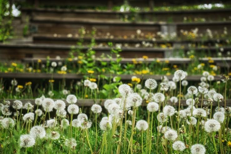 dandelion foreground