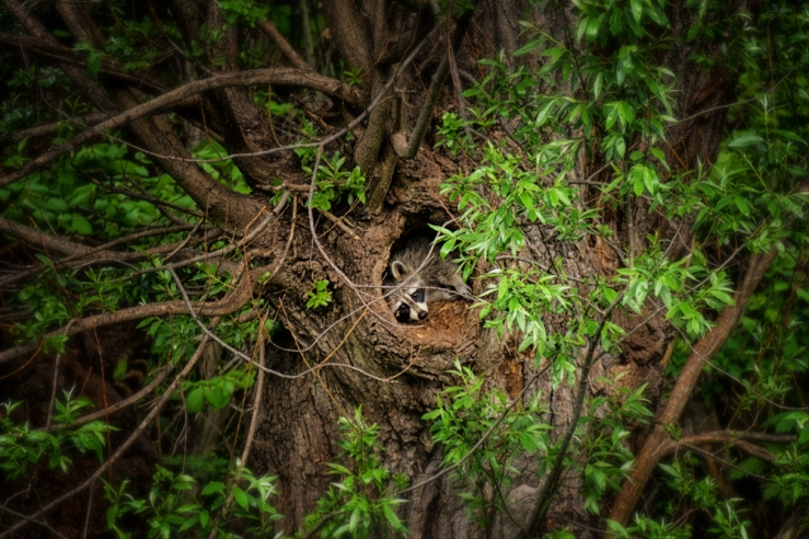 raccoon in tree hole