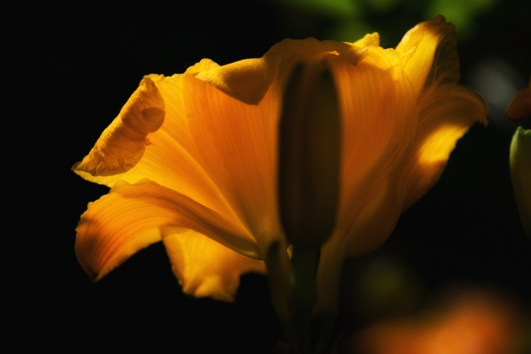day lily backlit