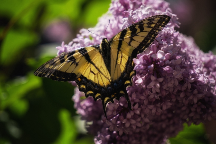 yellow butterfly on lilacs