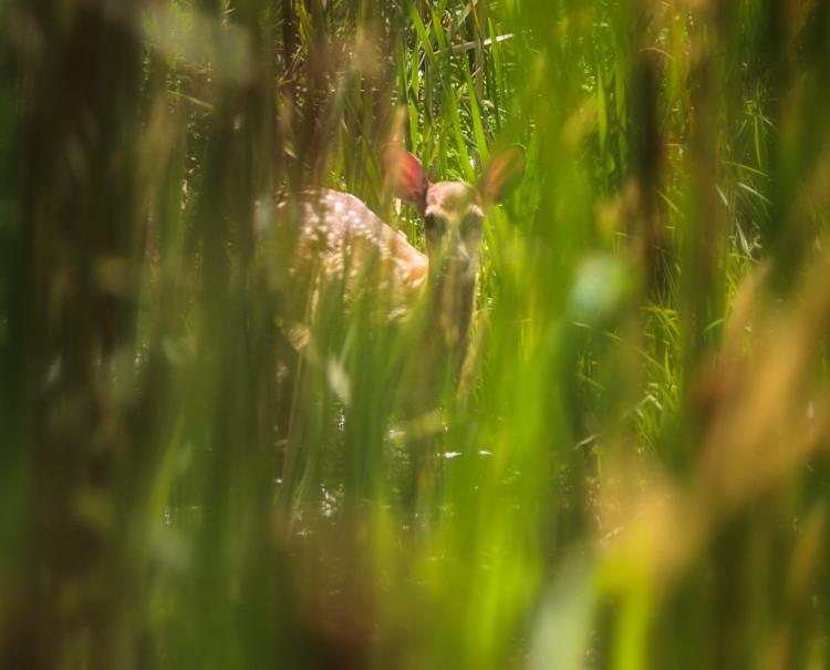 young deer in the swamp