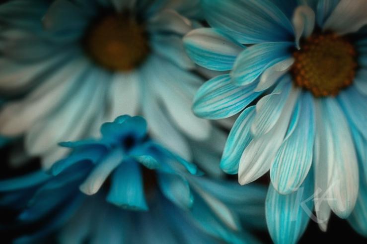 blue daisies 3