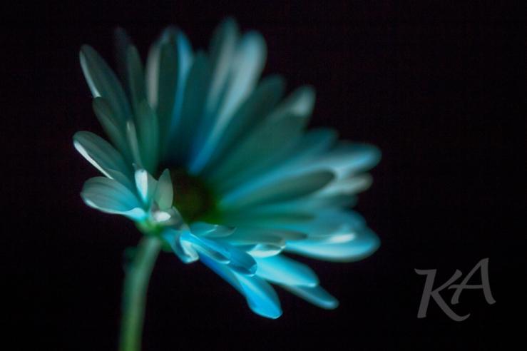 blue daisy 1