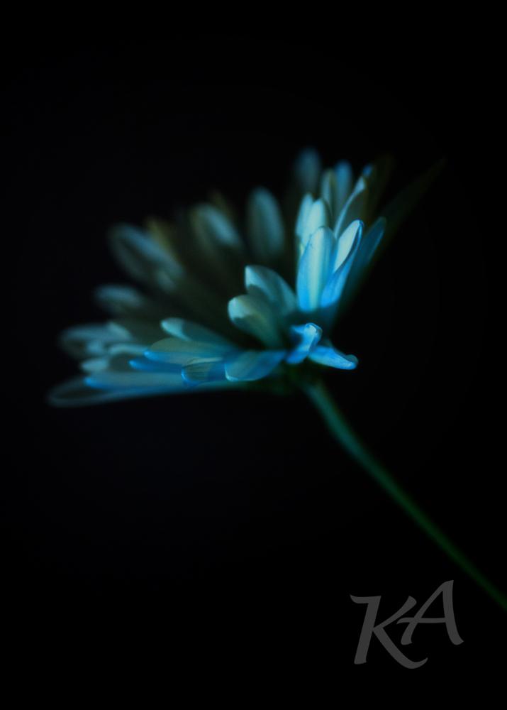 blue daisy 4