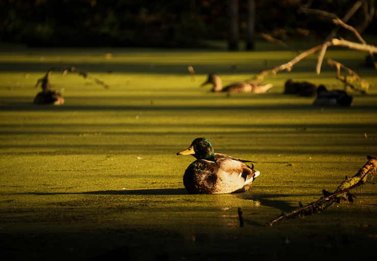 duck in light
