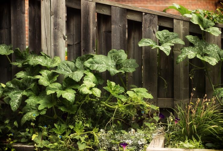 the squash plant