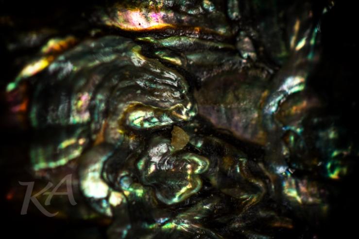 abalone-kali